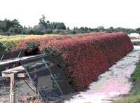 Picture of Weeping Chrysanthemum plants growing in nursery - rows of weeping trails of red and yellow plants.
