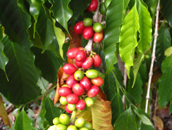 Picture of coffee cherries.