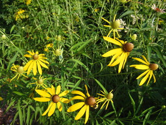 Picture of a gray-head coneflowers.