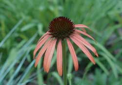 Picture of an Orange Meadowbrite hybrid coneflower