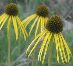 Picture of a yellow coneflower
