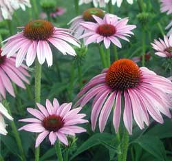 Picture of a purple coneflower