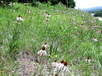 Picture of embankment with wild purple Drooping Coneflowers.