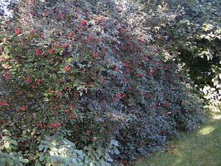 Picture of Conony Virburnum bush