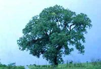 Picture of a large cottonwood tree standing beside a field.