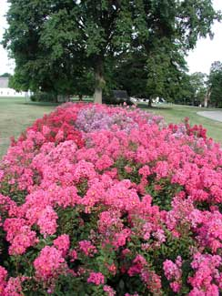 Picture of dwarf Crapemyrtle