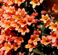 Picture of crossvine flowers.