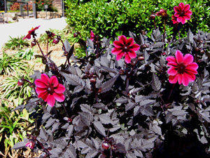 Picture of Dahlia Black Leafed Hybrids.