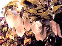 Picture closeup of Dove Tree leaves.