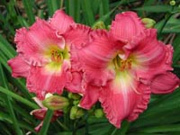 Picture closeup of pink Daylily flowers.