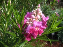 Picture of a Desert Willow bloom.