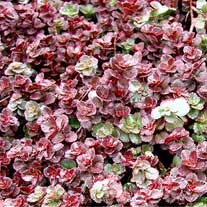 Picture of a Dragon's Blood sedum