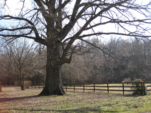 Picture of a cane hill oak tree suffering drought stress..