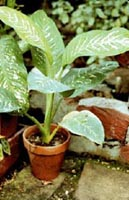 Picture of potted Dumbcane plant.