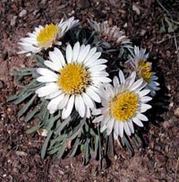 Picture of Easter Daisy in bloom with white petaled flowers with yellow centers.