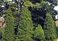 Picture of several Eastern Arborvitae shrubs.