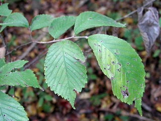 Picture of Slippery Elm.