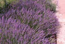 Picture of English Lavender