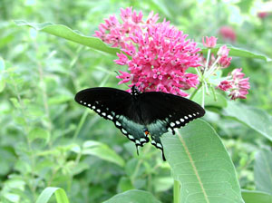 Picture of a swallowtail butterfly
