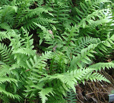 Picture of a several ferns