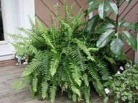 Picture of Boston Fern with other plants on wooden porch.