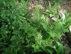 Picture of a Lady Fern.