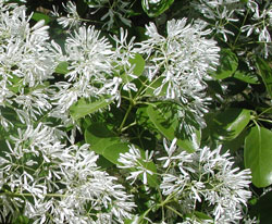 Closeup picture of a fringe tree.