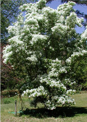 Picture of a fringe tree.