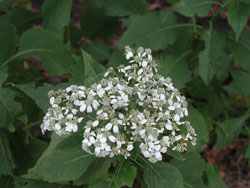 Picture of a White Crownbeard or Frostweed.
