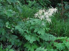 Picture of a Goat's Beard