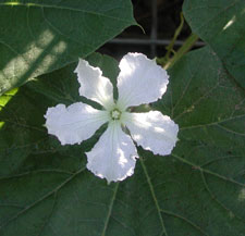Picture of a bottle gourd flower.