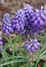 Closeup picture of grape hyacinths