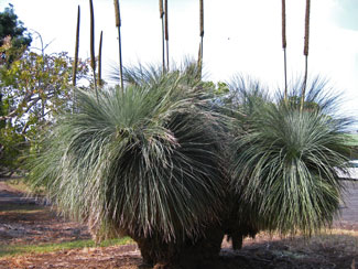 Picture of a Grasstree.