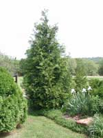 Picture of Green Giant Arborvitae in garden