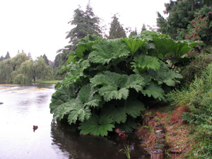 Picture of Gunnera