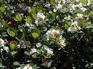 Picture of Indian Hawthorn blooms