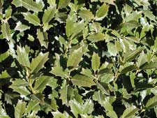 Picture of holly leaves