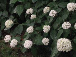 Picture of an Annabelle Hydrangea.
