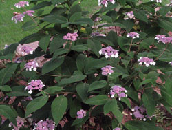 Picture of Sargent's Hydrangea.