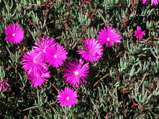 Picture of an Ice Plant