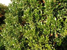 Picture of an inkberry holly