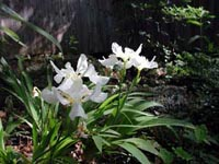 Picture of Japonese roof iris displaying white flowers.