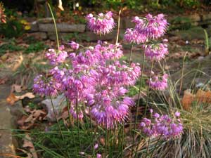 Picture of a Japanese Flowering Onion