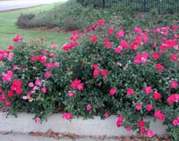 Picture of curbside row of  Knock Out rose shrubs with red flowers.
