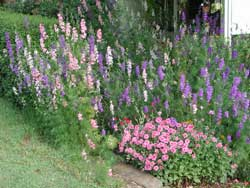 Picture of larkspur.