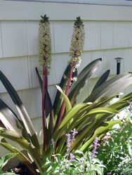Picture of a Pineapple Lily
