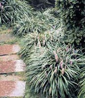 Picture of Liriope (or Lilyturf) clump with pink flower stem.
