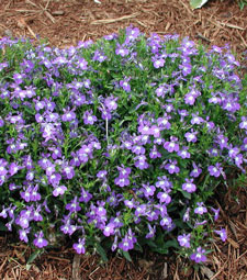 Picture of an Edging Lobelia bush