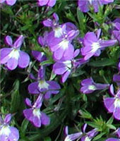 Picture of an Edging Lobelia flowers