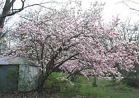 Picture of Saucer Magnolia tree covered with pink/white flowers.